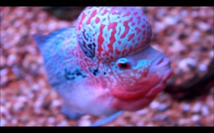 Flowerhorn in Show Quality * Hybrid * Cichlids * Luo Han - YouTube
