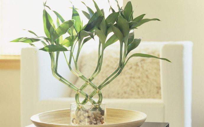 Lucky Bamboo Feng Shui - Meaning and Use