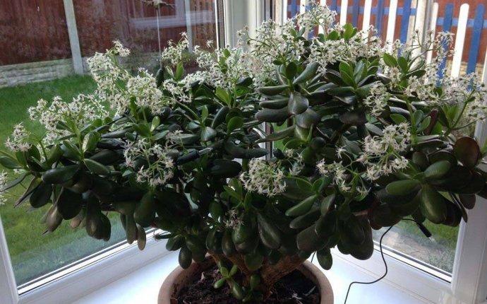 Money Plant / Jade Plant (Crassula ovata) | Our House Plants