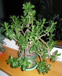 The Jade Plant, Money Plant or Crassula ovata